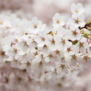 Spodbujevalci cvetenja