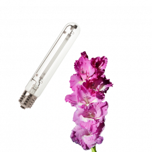 Sijalke Cvet/ Bloom